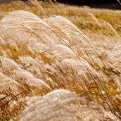 pampas grass field wallpaper